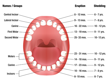 Teeth identification chart